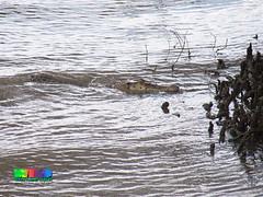 Estuarine crocodile (Crocodylus porosus) (wildsingapore) Tags: nature island marine singapore underwater wildlife reserve shore intertidal seashore wetland marinelife sungeibuloh kranji crocodylus porosus reptilia wildsingapore vertebrata