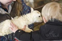 Soft baby lamb <3 (grilljam) Tags: spring seamus lambs 4yrs lambingseason wolfesneckfarm april2016