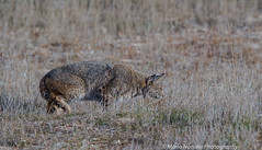 Hunting Bobcat (fascinationwildlife) Tags: california winter usa male nature animal america cat mammal big feline natur central rufus valley elusive bobcat predator lynx hunt luchs rotluchs
