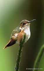Selasphorus scintilla / Scintillant Hummingbird (female) (Gmo_CR) Tags: coronado chispita scintillanthummingbird selasphorusscintilla patiodeagua colibrmosca colibrchispitagorginaranja