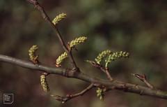 Black poplar catkins male, Forest Farm (felled), 8 March 1992 (Mary Gillham Archive Project) Tags: blackpoplar planttree populusnigra st138808 wales cardiff forestfarm 08031992 1992 47731