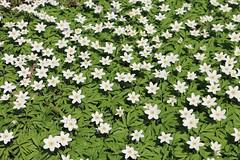 Buschwindrschen in Hlle und Flle (julia_HalleFotoFan) Tags: anemone buschwindrschen anemonenemorosa windrschen botanischergartenhalle