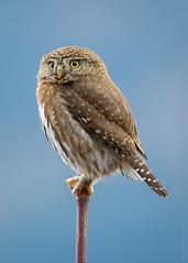 068A8678-Pygmy (Crisp Image Photography) Tags: wild nature birds outdoor wildlife owls naturephotography pygmyowl wildlifephotography glaucidiumgnoma