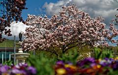 Spring! (mattrkeyworth) Tags: frühling spring kaisergärtchen würzburg batis85 zeissbatis85mmf18 ilce7r2 sonya7rii kilian kiliansbrunnen magnolia batis1885