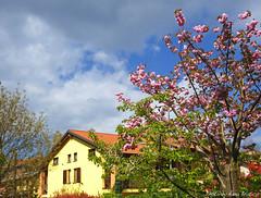 ThREE colors (anbri22) Tags: home colors cherry three spring anbri