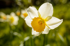 backlit classique (lumofisk) Tags: park plant flower macro yellow backlight garden season spring dof close bokeh outdoor 28mm jahreszeit wideangle gelb daffodil translucent blume garten ruhrgebiet nahaufnahme frhling draussen osterglocke pfanze osterblume 0mmf0 nikondf