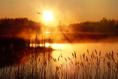 Morgonstund har guld i mund (evisdotter) Tags: morning light sun bird reed nature fog sunrise reflections foggy sunny åland sooc