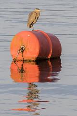 Heron (_32_2905) ([Rossco]:[www.rgstrachan.com]) Tags: canada heron sunshine vancouver evening britishcolumbia canadaplace coalharbour