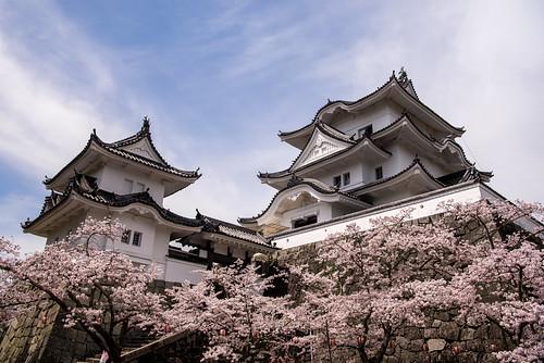 伊賀上野城の桜