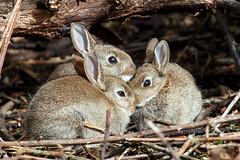 Baby Rabbits (Fazer44) Tags: wild three wildlife rabbits babyrabbits