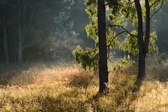 Morning light (Luke6876) Tags: park lighting morning trees light grass tenterfieldpark