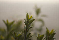 Carry on my Wayward son (Magdelaine L Photography) Tags: mist plant blur tree nature leaves fog raw outdoor gorgeous dslr dsc sonydsc rawphotography sonydslr