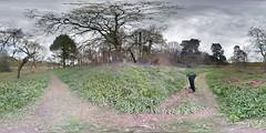 PANO_20160423_141106_1 (boddle (Steve Hart)) Tags: wood wild nature bluebells woodland woods natural wildlife samsung 360 panoramic anemone galaxy piles streetview s6 coppice purplehaze woodlandflowers forestflowers bluebellswoodanemonepilescoppicenaturalnaturewildlifewildsamsunggalaxys6streetviewpanoramic360forestflowerspurplehazewoodlandwoodlandflowers
