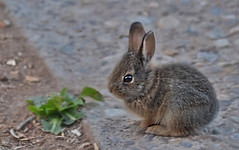 Bunny Watching! (Jo-Warming Up To The 80's :)) Tags: baby bunny photoshop textured topaz inthebackyard sundaysunday wk16 bunnywatching photoscape theflickrlounge inthestyleofpaulcezanne crackedfrescotexture