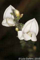 Cytisus multiflorus (L'Hr.) Sweet (Lus Gaifm) Tags: flower macro planta nature natureza flor fabaceae plantae fo maias whitebroom cytisusmultiflorus giestabranca whitespanishbroom lusgaifm pnlitoralnorte giesteirabranca