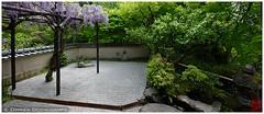 Wisteria in Nobotoke-an, Kyoto (Damien Douxchamps) Tags: japan temple kyoto    kansai japon wisteria   kinki glycine       northernsakyo nobotokean