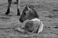 Wild Horses in black-and-white - Foal - 2016-024_Web (berni.radke) Tags: horse pony herd nordrheinwestfalen colt wildhorses foal fohlen croy herde dlmen feralhorses wildpferdebahn merfelderbruch merfeld przewalskipferd wildpferde dlmenerwildpferd equusferus dlmenerpferd dlmenpony herzogvoncroy wildhorsetrack