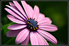 Set Your Own Standard (bigbrowneyez) Tags: flowers macro love nature fleur beautiful canon hope petals amazing cool fantastic pretty purple blossom bokeh gorgeous awesome joy happiness natura fresh frame mauve fabulous africandaisy delightful cornice fioro setyourownstandard