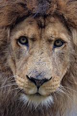 Cesar @ Safaripark Beekse Bergen 13-02-2016 (Maxime de Boer) Tags: cats animals zoo big leo african lion cesar bergen dieren safaripark dierentuin leeuw panthera beekse hilvarenbeek afrikaanse katachtigen
