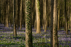 Bluebells and ivy (rvanhegelsom) Tags: wood flowers blue trees plant flower color colour tree green nature floral beautiful bluebells fairytale forest landscape photography spring woods flora colorful belgium pics colourful sequoia halle hallerbos