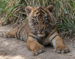 Little Debbie (ToddLahman) Tags: baby canon tiger tigers sumatrantiger safaripark escondido canon100400 tigercub babytiger tigertrail sandiegozoosafaripark babysumatrantiger canon7dmkii