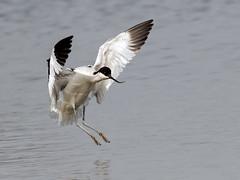 Avocet - Recurvirostra avosetta (normanwest4tography) Tags: nature water inflight landing slimbridge avocet wader wildbirds aquaticbird sigma500f45 canon7d2