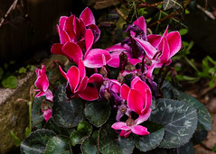 20160424-5D3_9470 (Terry Payman) Tags: garden jeannette