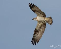 Une petite dernire... (Rgis B 31) Tags: bird action vol oiseau pandionhaliaetus arige rapace accipitriformes mazres balbuzardpcheur domainedesoiseaux westernosprey pandionids