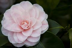 Camellia Japonica (HansPermana) Tags: pink flower beautiful spring flora köln camellia graceful blooming kölnbotanischergarten