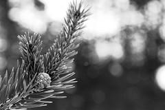 pinecone (Stefan Giese) Tags: bw canon finland finnland bokeh sw pinecone tannenzapfen tanne 6d nadelbaum 24105mm schwazweiss