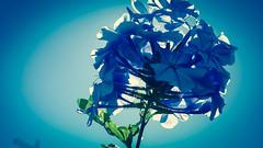 Sun Behind Blue Flowers - Galaxy Note 3 - Adobe Lightroom Android (NextCloser) Tags: blue sunset pordosol wallpaper sun portugal beautiful amazing paint bokeh hd algarve hdr suelo blueflower davidnunes