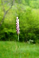 lila fszl / purple grass (debreczeniemoke) Tags: grass spring purple lila tavasz f fszl flowerofgrass olympusem5 fvirga