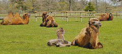 I've Got The Hump (hurlham) Tags: humorous camels cotswoldwildlifepark