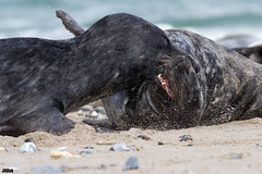 Kegelrobbe, Halichoerus grypus, grey seal @ Helgoland, Heligoland in April 2016 (Jan Rillich) Tags: sea sun male nature beautiful beauty animal fauna digital photography eos grey photo spring fight flora foto fotografie image jan wildlife attack picture free sunny insel seal april bite northern nordsee sandstein robbe struggle dne frhling halichoerusgrypus grayseal greyseal helgoland 2016 animalphotography buntsandstein seerobbe heligoland kegelrobbe hochseeinsel halichoerus grypus hundsrobbe janrillich rillich