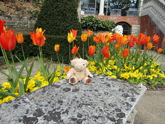 Miles by the Tulips (wallygrom) Tags: england gardens garden teddybear dorset miles bournemouth poole comptonacres canfordcliffs april2016 milesthethomsonbear