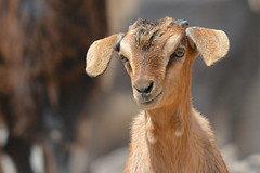 Cute baby goat smiling for the camera (Ma3eN) Tags: animal uae goat sharjah wadialhelo