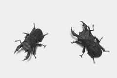 Dorcus Hopei Binodulosus (Ivan Svatko) Tags: insect origami handmade beetle paperfolding dorcus dorcushopei dorcushopeibinodulosus kotaimai