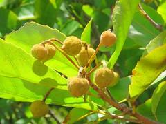 Sloanea australis subsp. australis 16 (barryaceae) Tags: kooloobung creek nature park port macquarie new south wales australia australianrainforestplant ausrfps elaeaocarpaceae