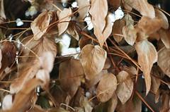 10350020 (Burkecollings) Tags: film leaves 35mm pentax trellis pentaxmesuper mesuper burkecollings