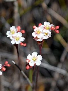 Drosera spatulata flower