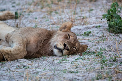 Do Not Disturb (chasingthelight10) Tags: africa travel photography landscapes wildlife events lion places things botswana grassland okavangodelta gomotisafaricamp