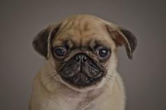 Poser! (jlc pics) Tags: xmas dog white black puppy nikon pug and pup d7000
