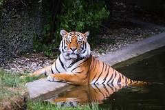 Taking a bath (Cloudtail the Snow Leopard) Tags: animal cat munich mnchen mammal zoo big feline tiger katze tierpark tigris tier gros amur hellabrunn amurtiger sibirian panthera raub sugetier sibirischer
