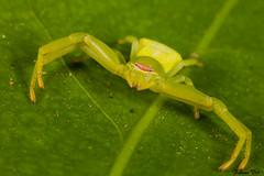 IMG_1504 Calakmul - Misumenoides sp (fabianvol) Tags: portrait mexico spider arachnid selva mexique araa fort araigne arachnida arachnide tropicale