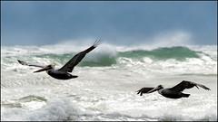 DSC_4490 (trinrn7) Tags: bird beach surf wildlife pelican padreisland