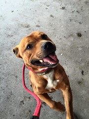 Gary (MerlinAnimalRescue) Tags: rescue dog animal wales north bull terrier merlin staffie staffordshire sbt