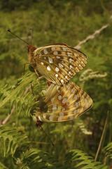 Dark Green Fritillaries mating (pauldunn52) Tags: uk green wales butterfly dark insect wildlife south mating fritillary
