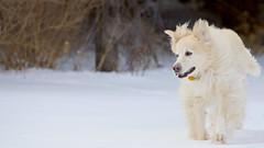 Miesha (Padrone) Tags: winter dog snow playing beautiful happy mix walk retriever playful pyrenees miesha smileofadog