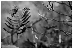 Lonely (nrdli) Tags: blackandwhite bw nature monochrome walking blackwhite nikon natur january sw sheet schwarzweiss blatt wandern harz januar ilfeld harztor fahn sdharz d5200 nikond5200
