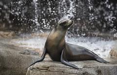 Sea Lion (YuccaYellow) Tags: sea brown water beautiful closeup grey waterfall droplets drops nikon bokeh lion monochromatic sharp aquatic splash pinniped